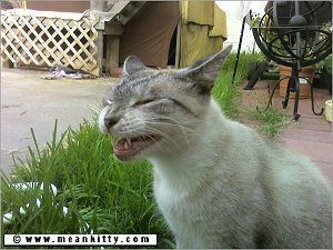 a pale colored tabby cat laughing out in the green grass. Also this page is about the types of edits I offer.