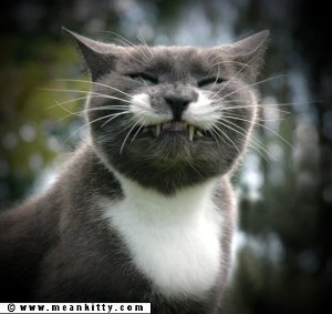This is a grey and white tuxedo cat exposing his fangs in a smile, not a sneeze.