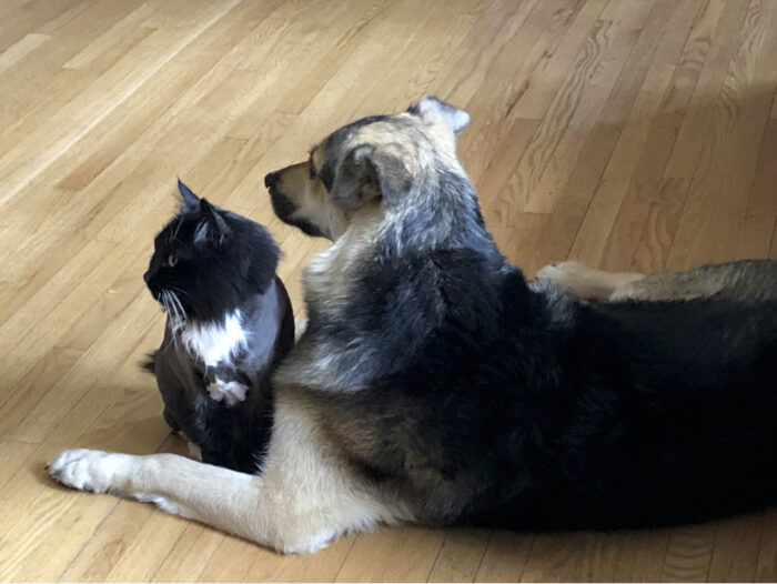 A black and white long haired cat sitting very close to a German Shepherd colored mutt dog and both are looking into the distance