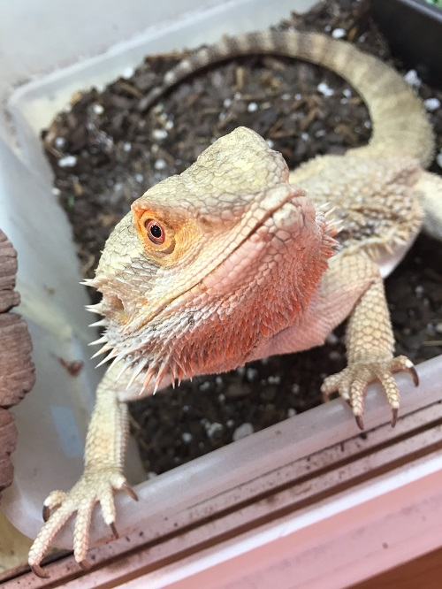 a perky bearded dragon who likes it if dubia roaches escape
